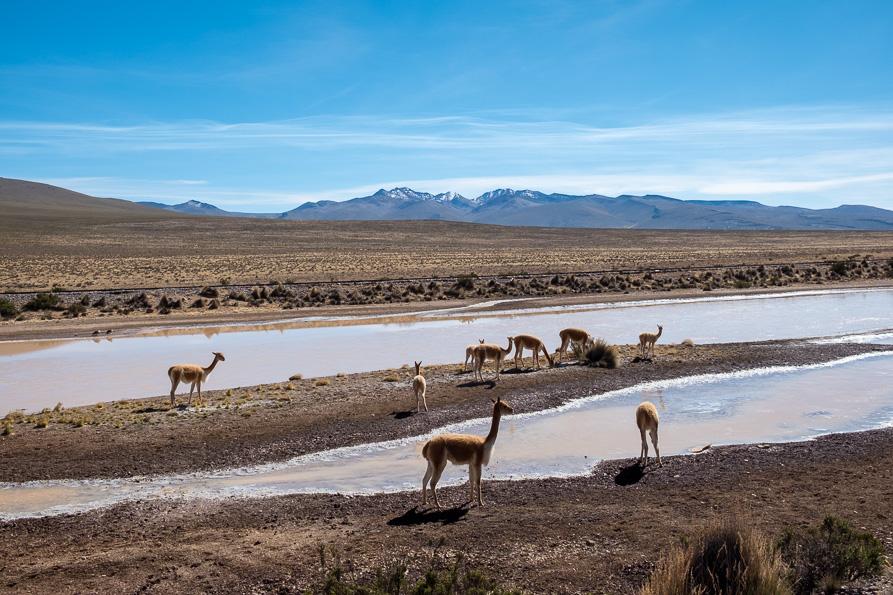 Vicuñas Colca Canyon Peru