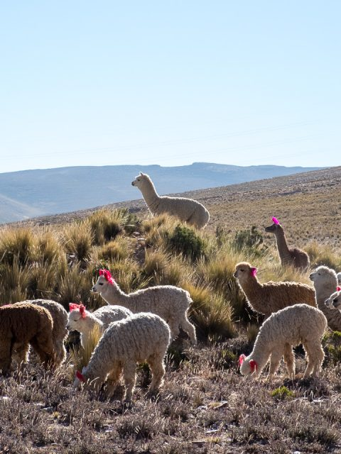Colca Canyon Peru - Alpacas