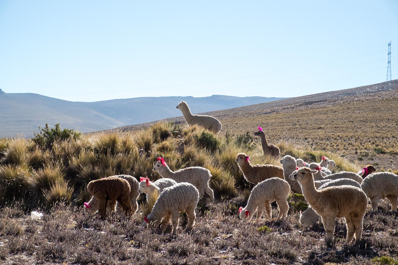 Colca Canyon Peru - Alpacas