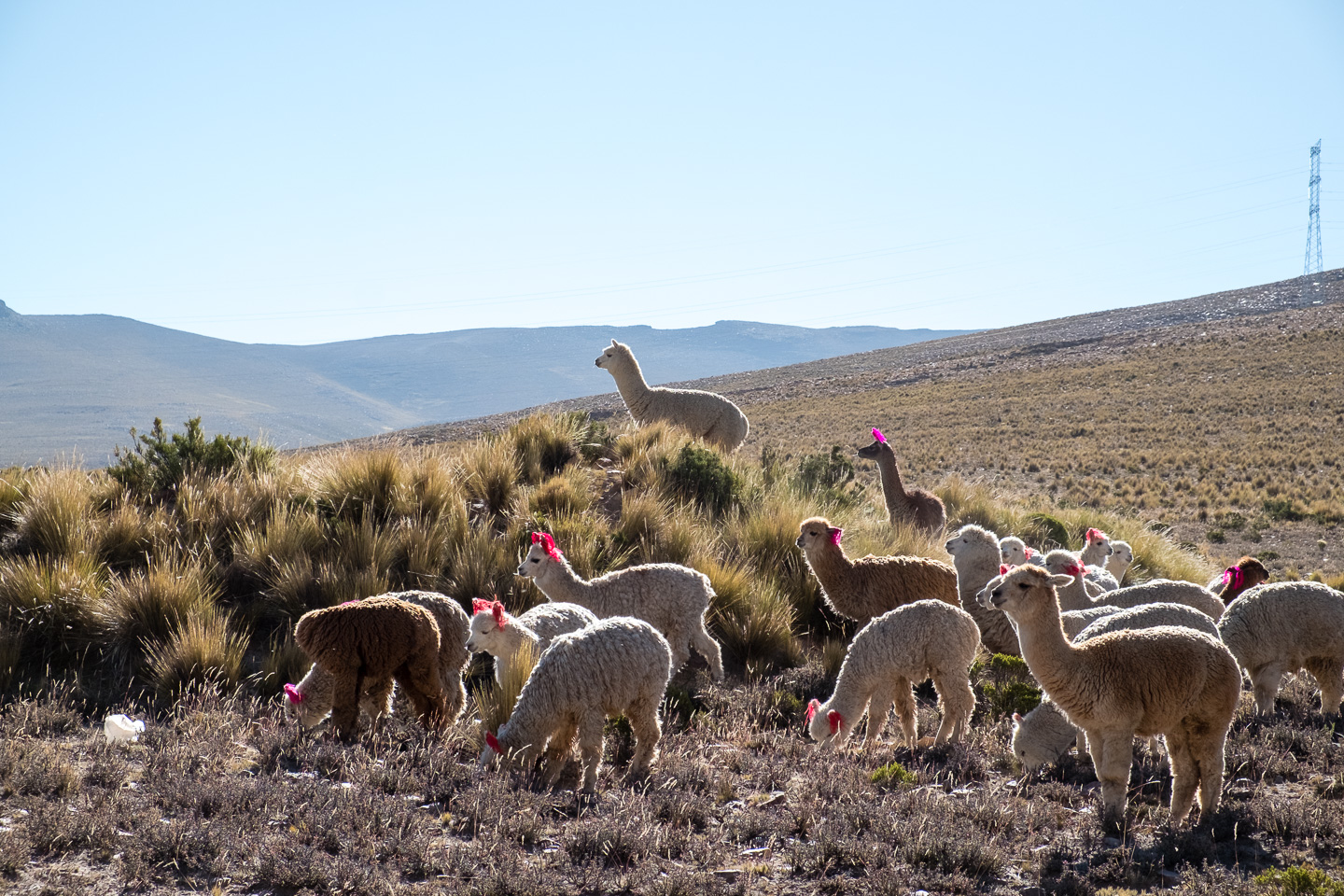 Alpacas Colca Canyon